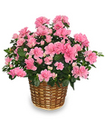 Azalea Plant from Maplehurst Florist, local flower shop in Essex Junction