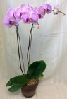 Phalaenopsis Orchid from Maplehurst Florist, local flower shop in Essex Junction