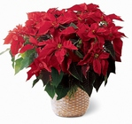 Red Poinsettia Basket from Maplehurst Florist, local flower shop in Essex Junction