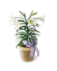 Easter Lily Plant from Maplehurst Florist, local flower shop in Essex Junction