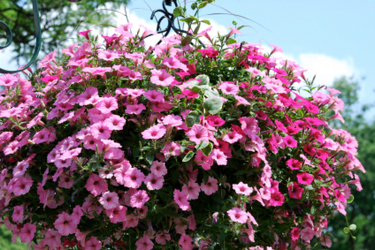 Blooming Hanging Basket from Maplehurst Florist, local flower shop in Essex Junction