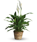 Simply Elegant Spathiphyllum from Maplehurst Florist, local flower shop in Essex Junction