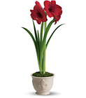 Merry Amaryllis from Maplehurst Florist, local flower shop in Essex Junction