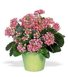 Kalanchoe from Maplehurst Florist, local flower shop in Essex Junction
